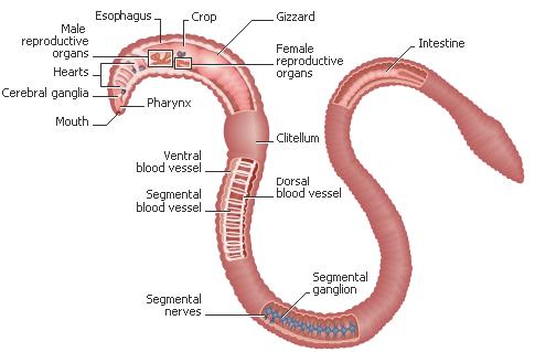 Рисунок внешнего вида червя