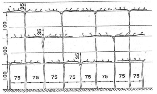 Схема размещения и формирования кустов, посаженных около стен построек или в виде галереи (размеры в см) .