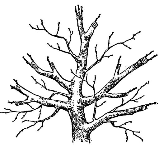 Схема перепрививки кроны